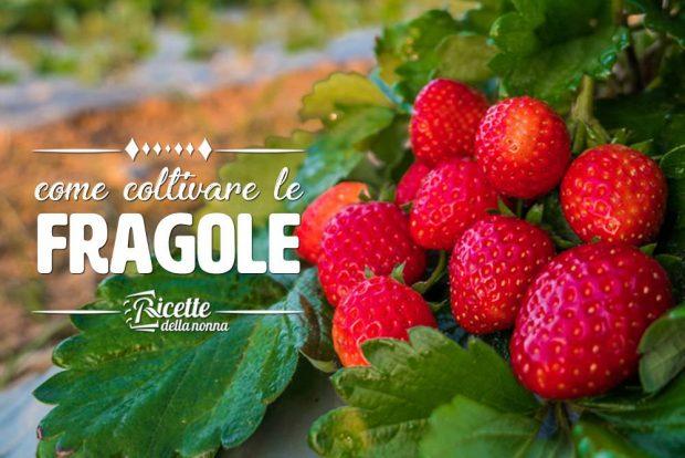 Come coltivare le fragole ricette della nonna for Vasi per fragole
