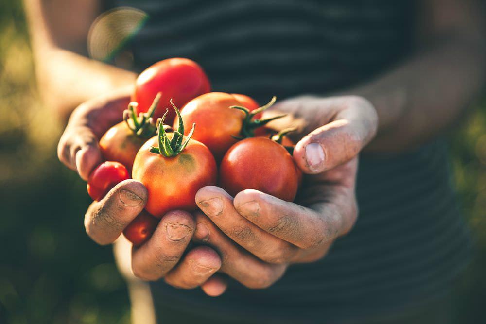 Come coltivare i pomodori ricette della nonna for Piantare pomodori