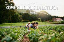 Come coltivare la lattuga